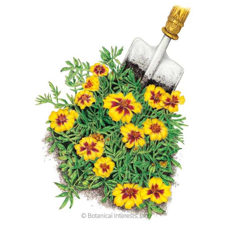 Naughty Marietta French Marigold Seeds