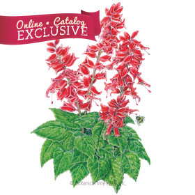 Early Bonfire Salvia Seeds - Online Exclusive