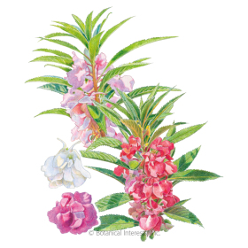 Camellia Flowered Balsam Seeds