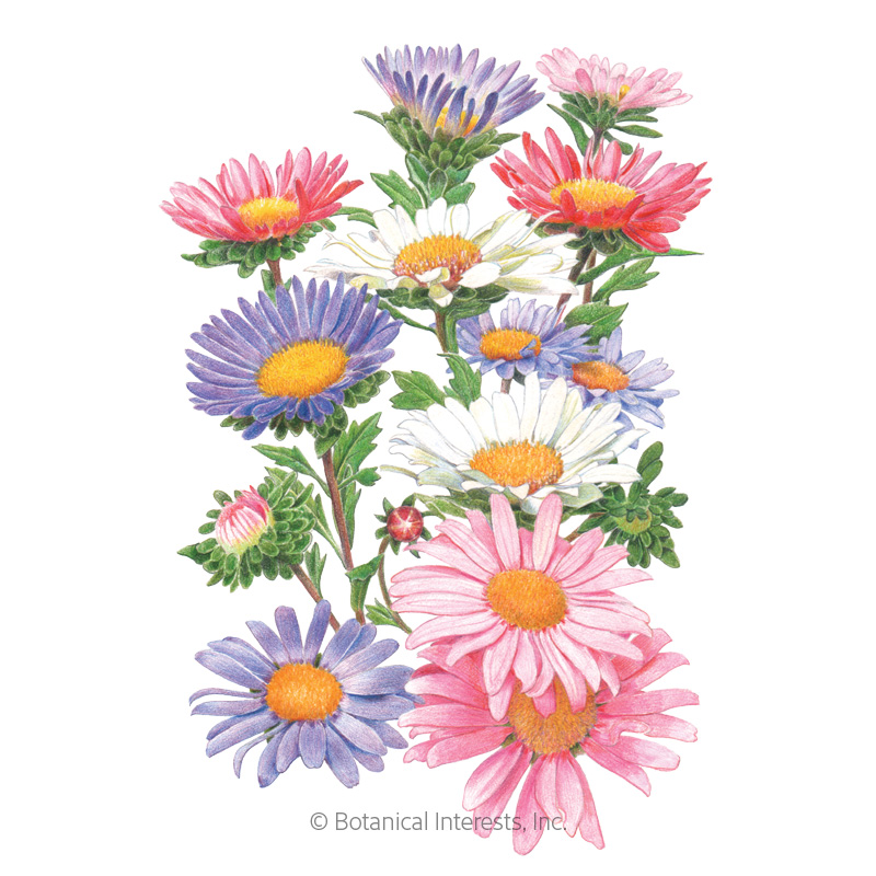 China Aster Blend Aster Seeds