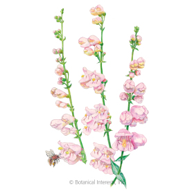 Fragrant Palmer's  Penstemon Seeds
