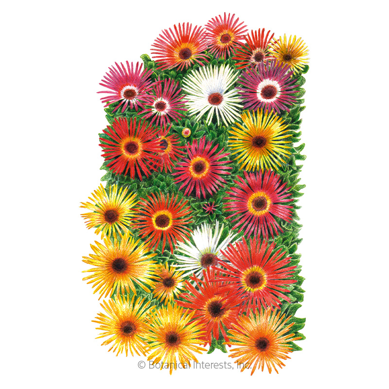 Sparkle Blend Iceplant (Livingstone Daisy) Seeds
