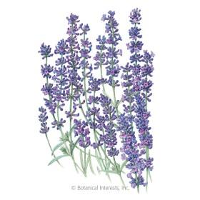 Provence Blue Lavender Seeds