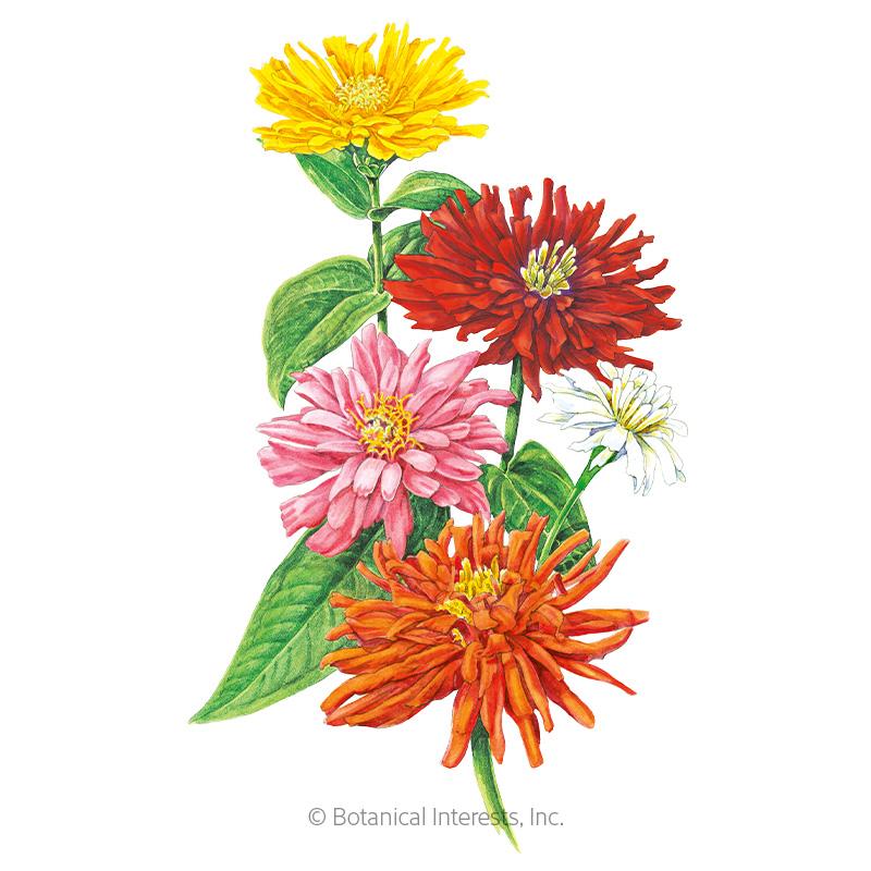 Cactus Flower Blend Zinnia Seeds