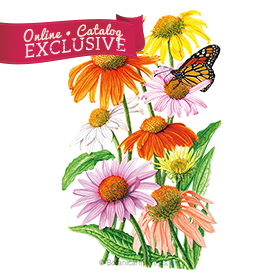 Paradiso Dwarf Blend Echinacea Seeds - new - Online Exclusive