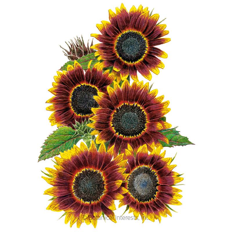 Shock-O-Lat Sunflower Seeds.