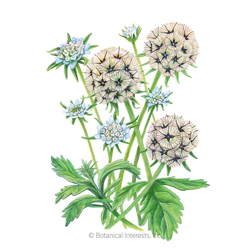 Starflower Scabiosa/Pincushion Flower Seeds