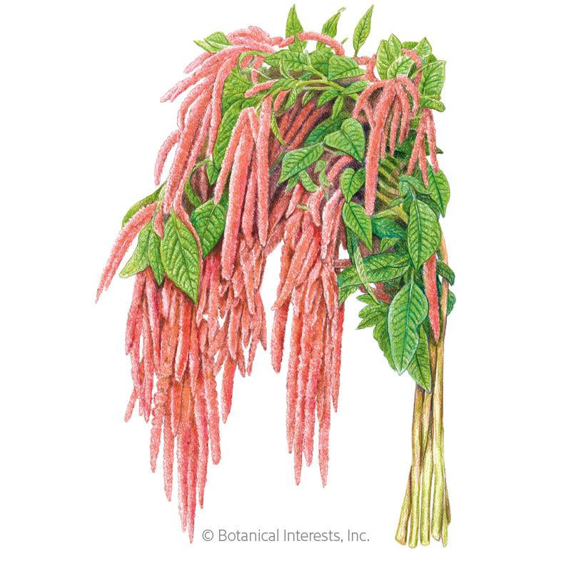 Coral Fountain Love-Lies-Bleeding Amaranth Seeds