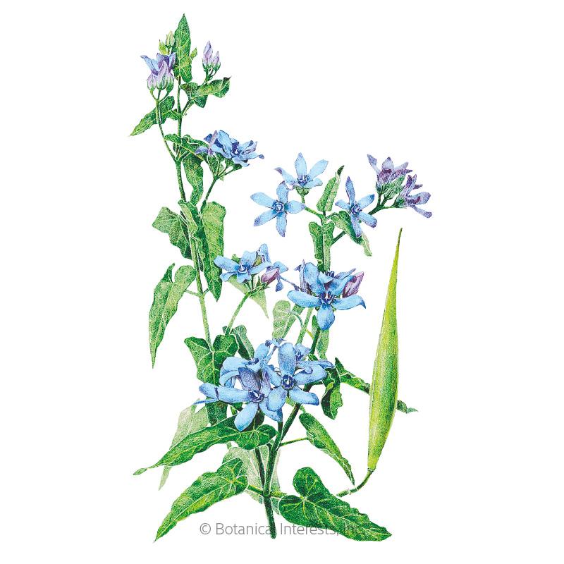 Tweedia Milkweed/Butterfly Flower Seeds