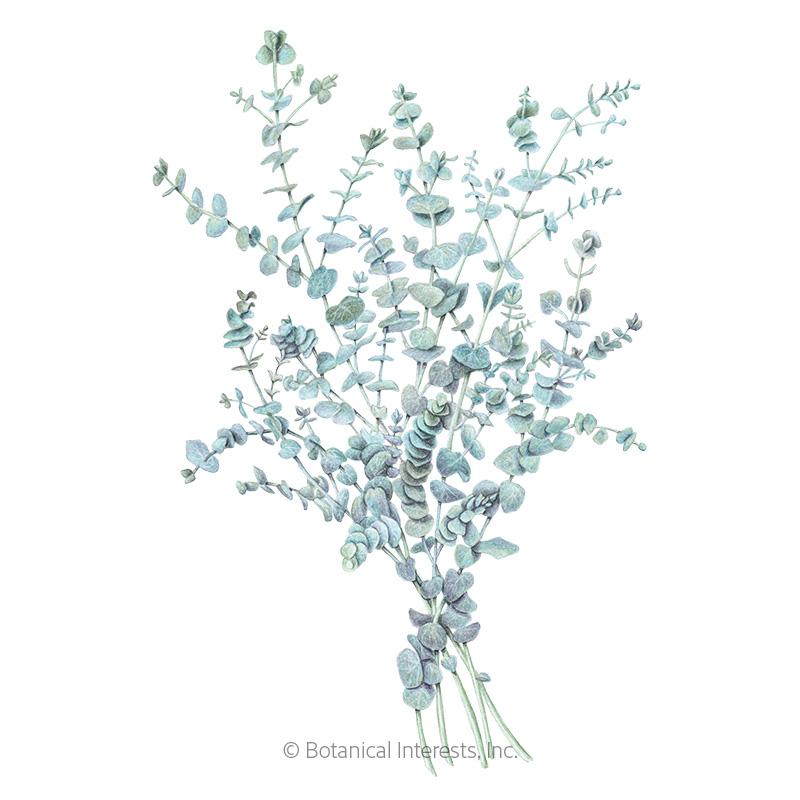Baby Blue Eucalyptus Seeds