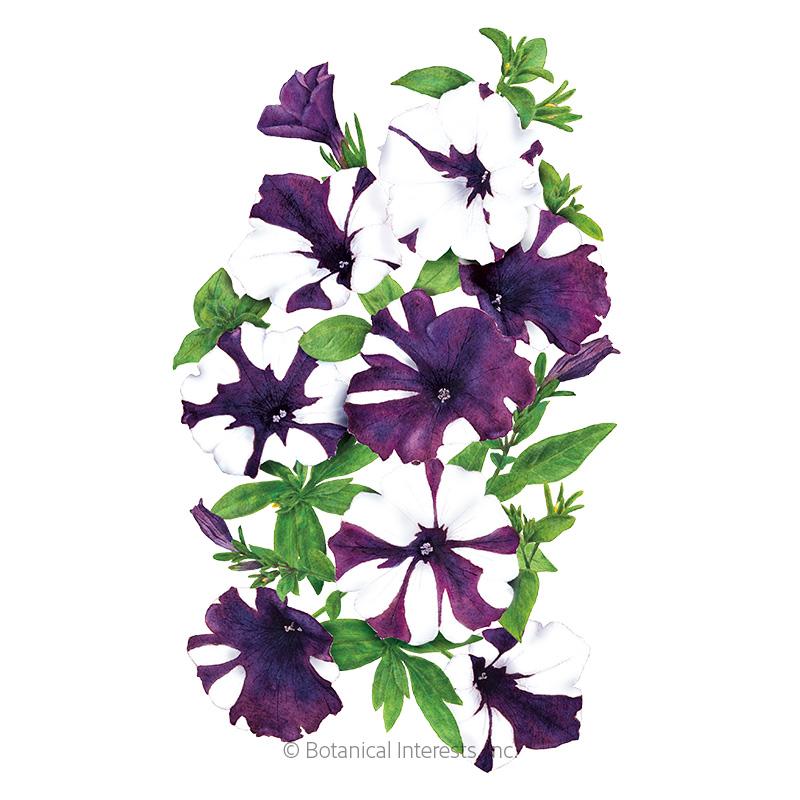 Shock Wave® Purple Tie Dye Petunia Seeds