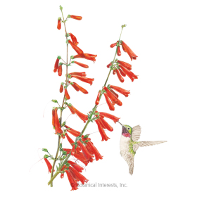 Firecracker Penstemon Seeds