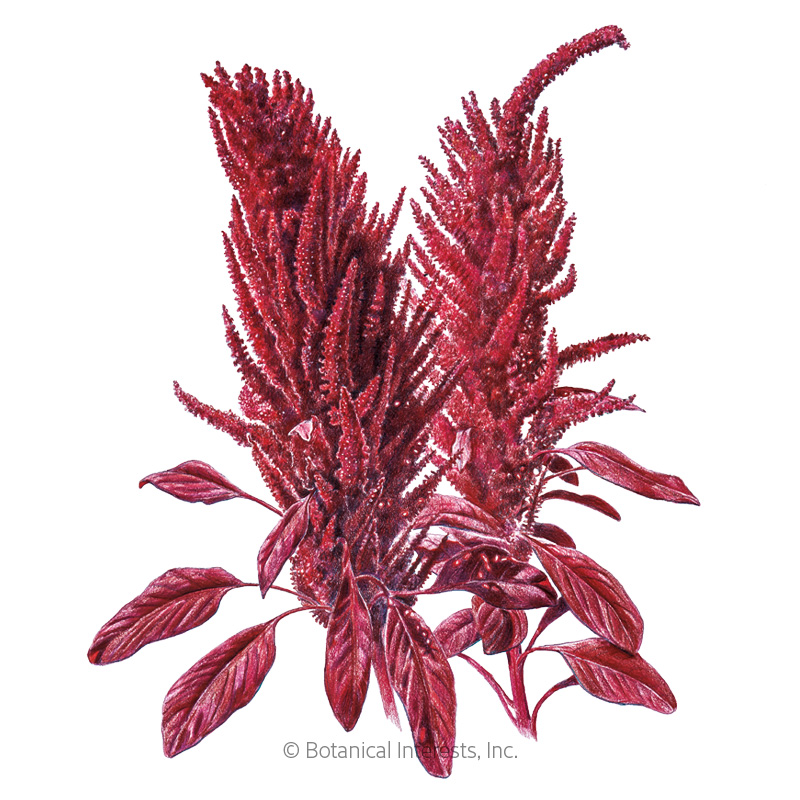 Burgundy Amaranth Seeds