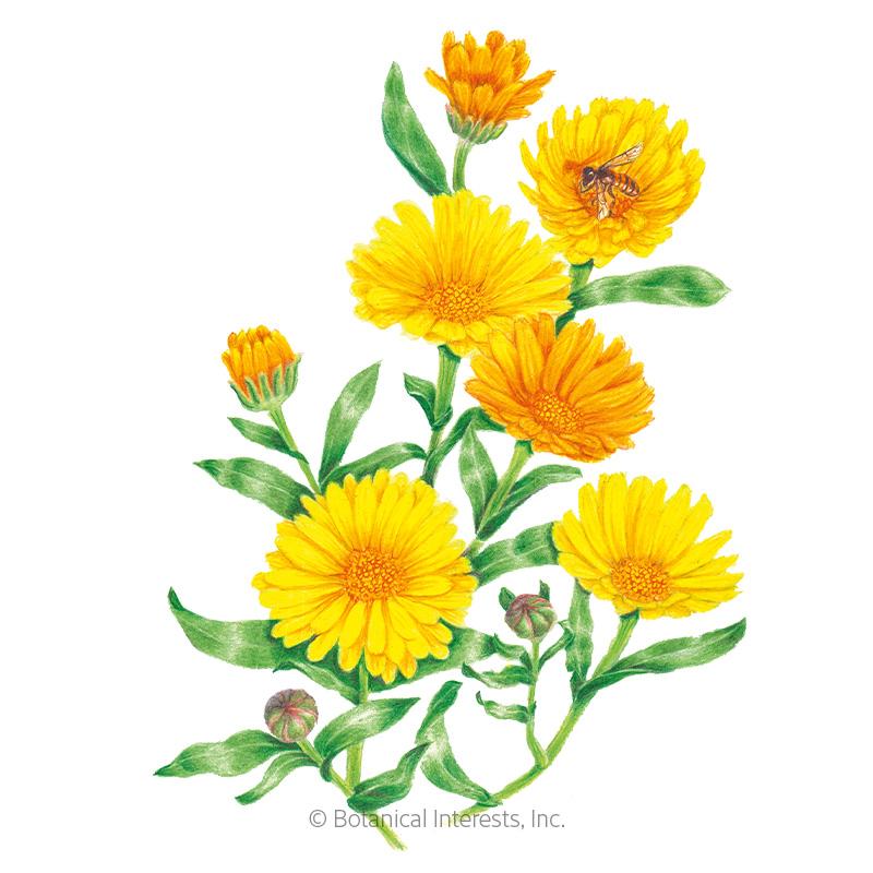 Resina Calendula (Pot Marigold) Seeds