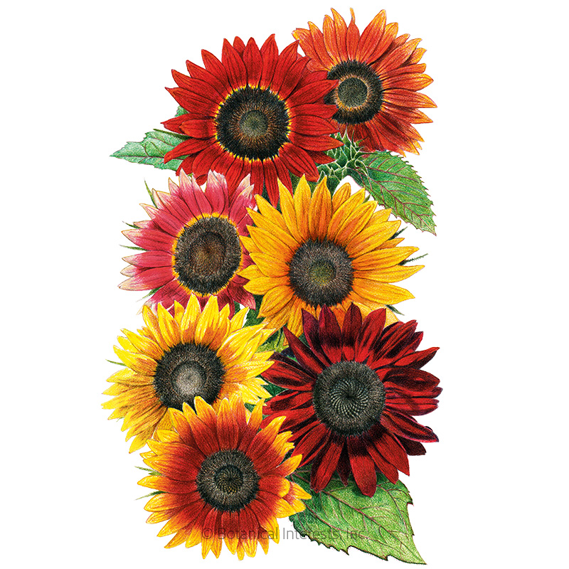 Heirloom Beauties Sunflower Seeds