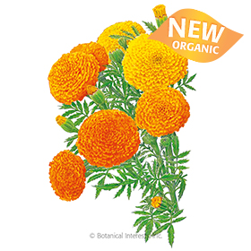 Crackerjack African Marigold Seeds