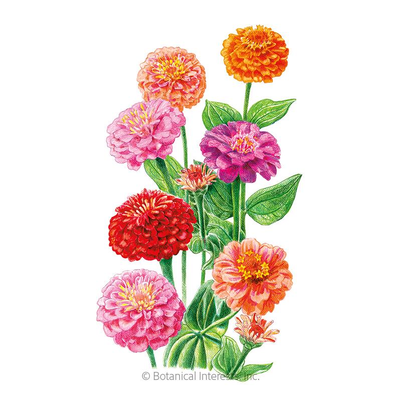 Lilliput Zinnia Seeds