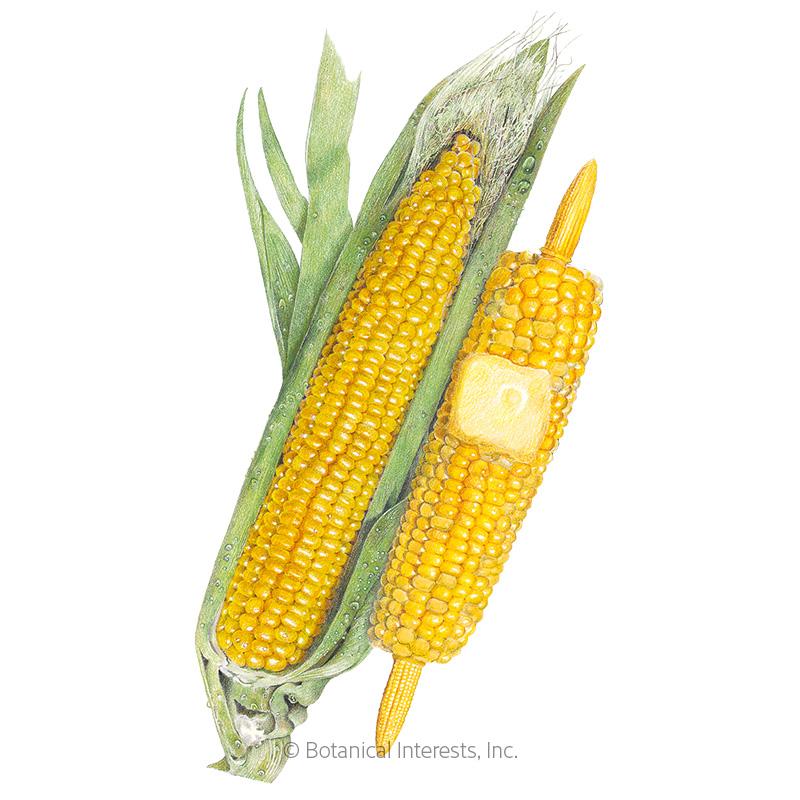 True Gold Sweet Corn Seeds