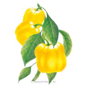 Golden Cal Wonder Sweet Pepper Seeds