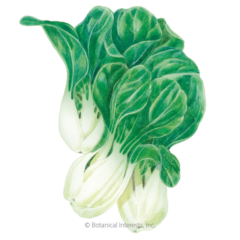 Baby Choi Bok Choy Seeds