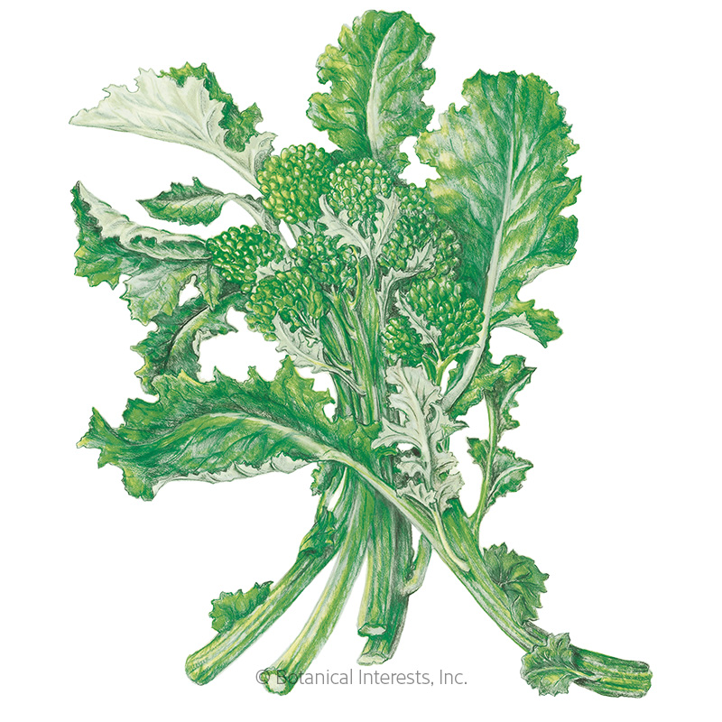 Rapini Broccoli Raab Seeds