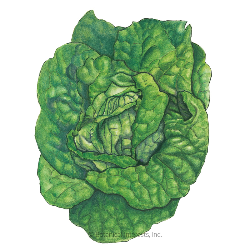 Buttercrunch Butterhead Lettuce Seeds
