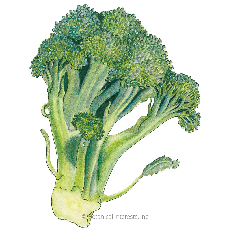 Di Cicco Broccoli Seeds