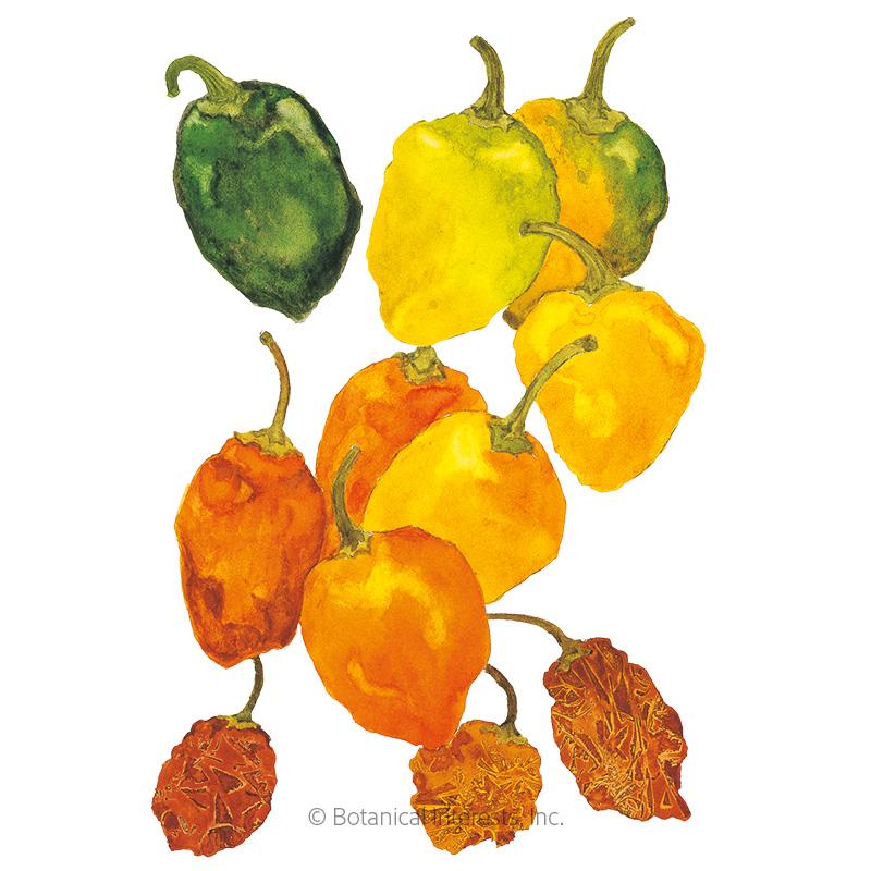 Habanero Chile Pepper Seeds