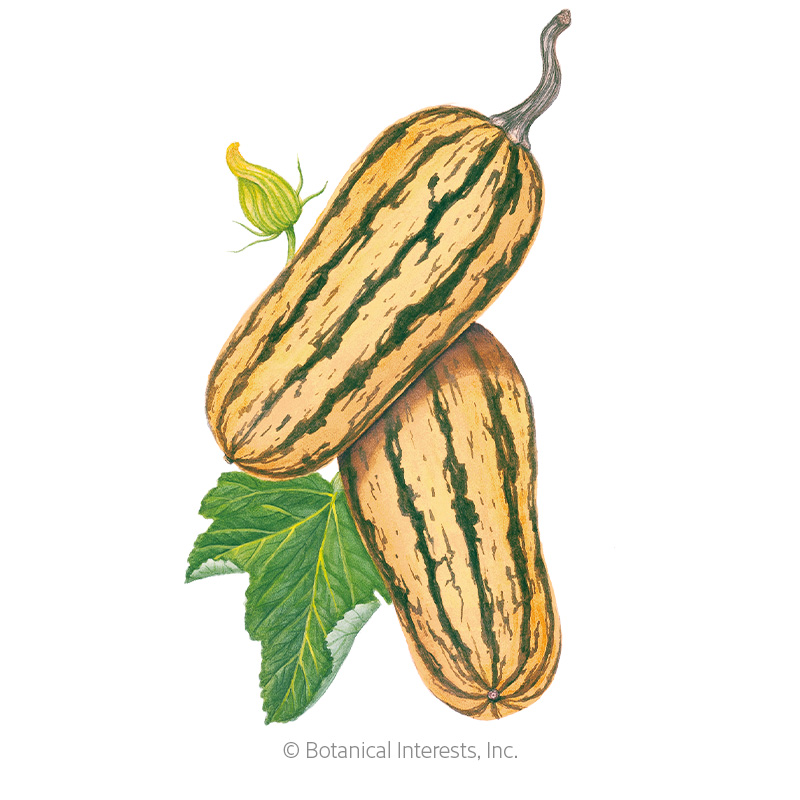 Honey Boat Winter Delicata Squash Seeds