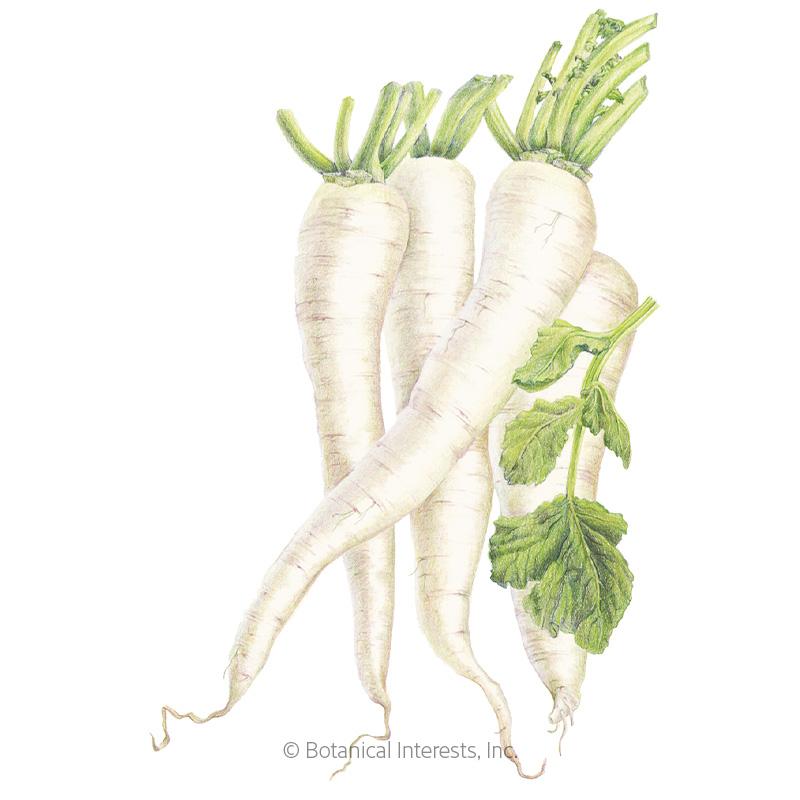 Miyashige White Daikon Radish Seeds