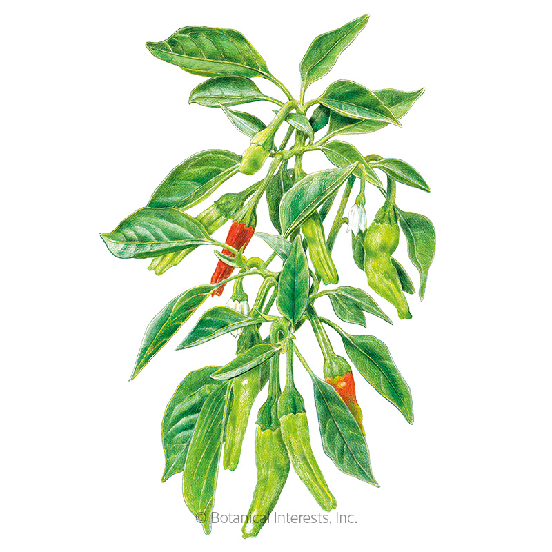 Shishito Chile Pepper Seeds