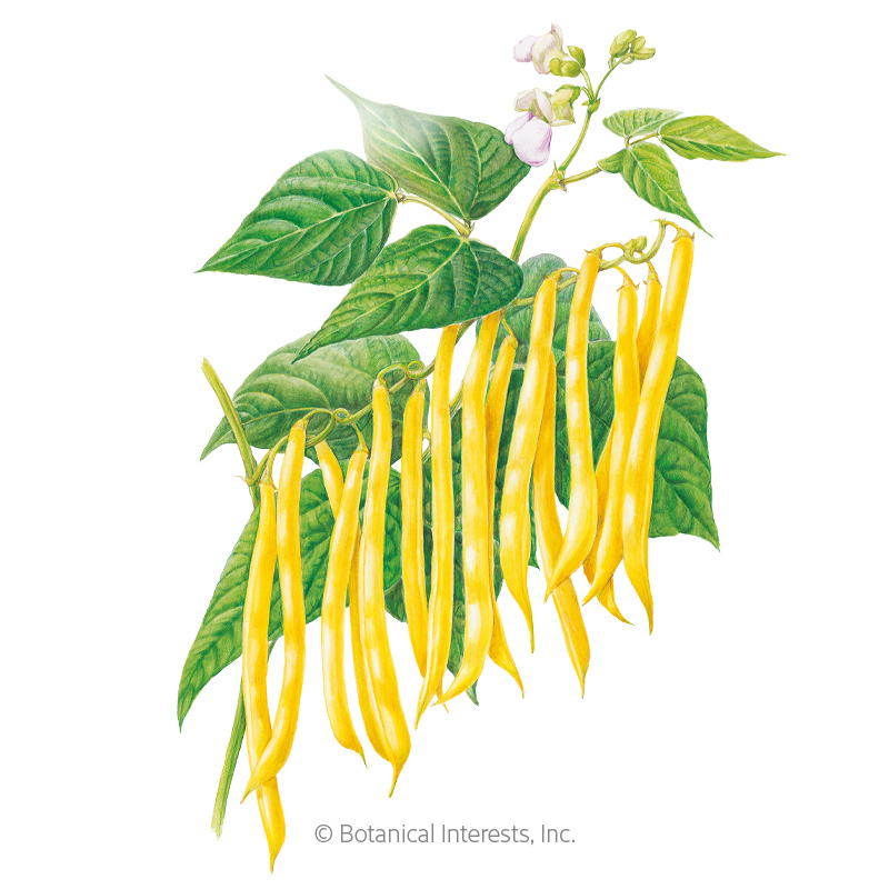 Gold Rush Bush Bean Seeds