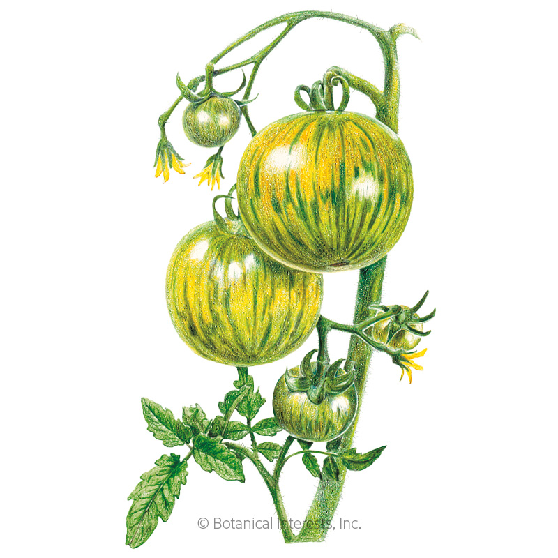 Green Zebra Pole Tomato Seeds