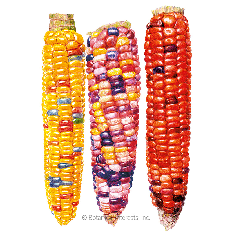 Painted Hill Sweet Corn Seeds