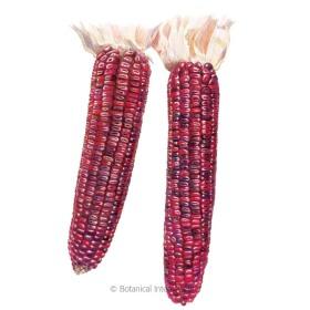 Bloody Butcher Dent Corn Seeds