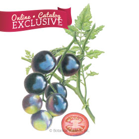 Indigo Rose Pole Cherry Tomato Seeds     - Online Exclusive