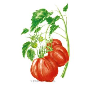 Cuore Di Bue Pole Tomato Seeds