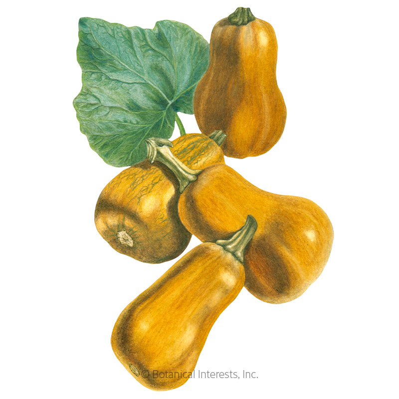 Honeynut Winter Squash Seeds
