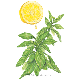 Lemon Mrs. Burns Basil Seeds