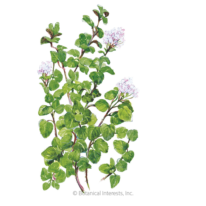 True Greek Oregano Seeds