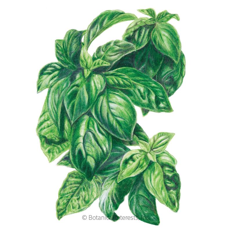 Italian Genovese Basil Seeds