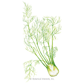 Perfection Fennel Seeds