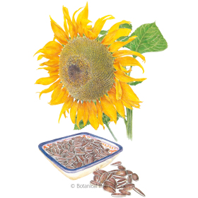 Snacker Sunflower Seeds