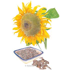 Snacker Sunflower Seeds