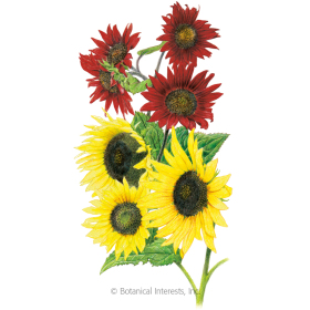 Two Queens Sunflower Seeds