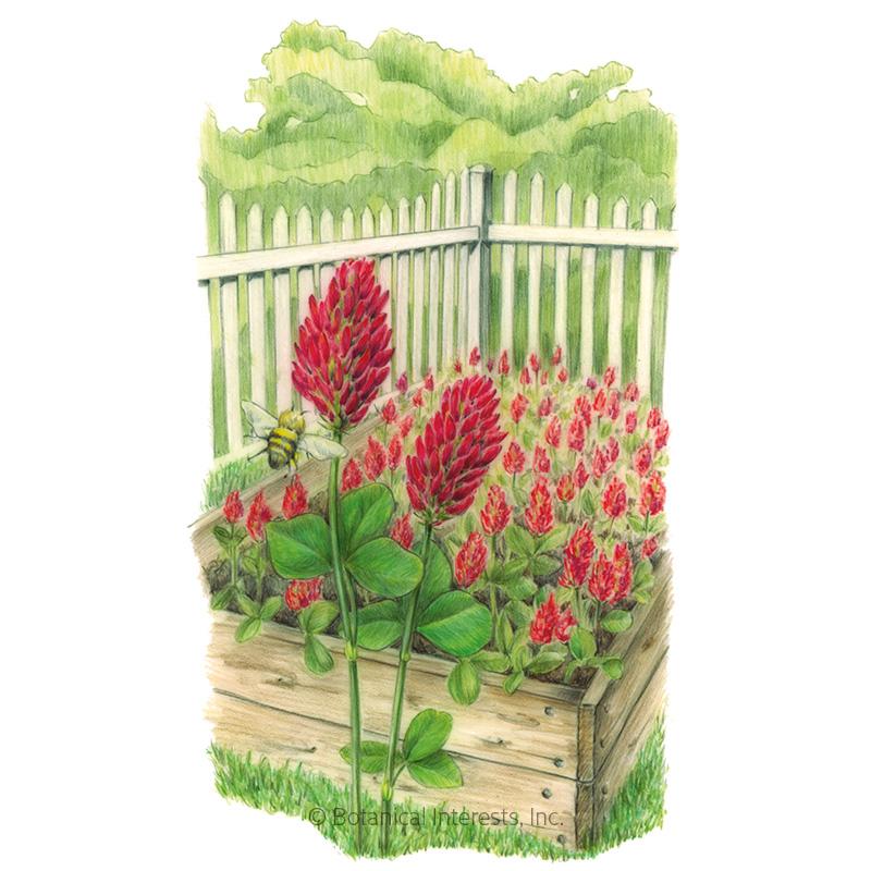 Crimson Clover Cover Crop Seeds