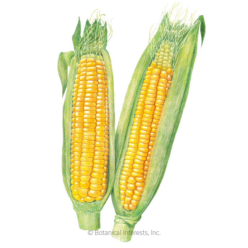 Golden Bantam 8 Row Sweet Corn Seeds