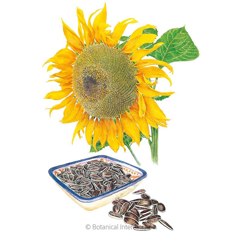 Mongolian Giant Sunflower Seeds