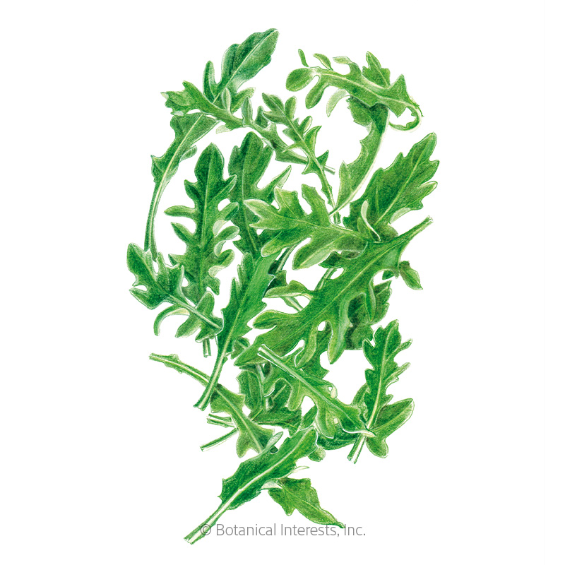 Arugula (Rocket Salad) Baby Greens Seeds