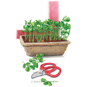 Pea Shoots Baby Greens Seeds